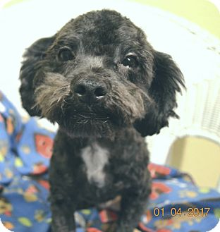 Poodle (Miniature) Mix Dog for adoption in Brattleboro, Vermont - Honda/Adopted!