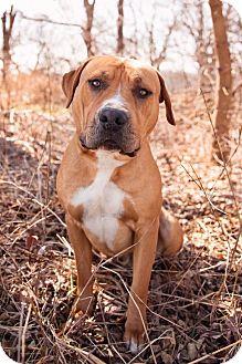 Mastiff Mix Dog for adoption in Enid, Oklahoma - Dexter (Pen 13)