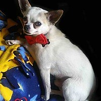 Chihuahua Mix Dog for adoption in Council Bluffs, Iowa - Bandit