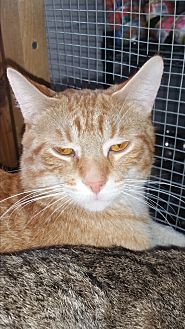 Domestic Shorthair Cat for adoption in Eastpointe, Michigan - Jack