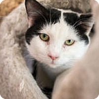 Domestic Shorthair Cat for adoption in East Norriton, Pennsylvania - Lucas