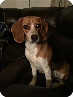Beagle Mix Dog for adoption in Prosper, Texas - Abigail