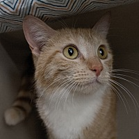 Adopt A Pet :: Alani - Canyon Country, CA