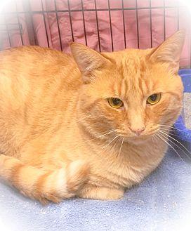 Domestic Shorthair Cat for adoption in Webster, Massachusetts - Poland
