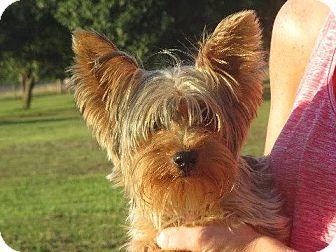 Yorkie, Yorkshire Terrier Puppy for adoption in Salem, New Hampshire - Davis