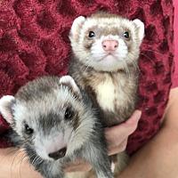 Adopt A Pet :: HARLEY & SCOOTER - Brandy Station, VA