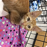 Domestic Shorthair Kitten for adoption in San Antonio, Texas - Riley