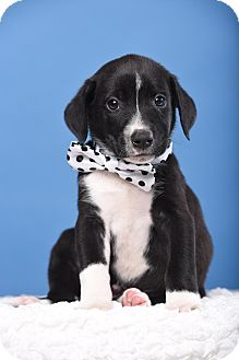 Mixed Breed (Medium) Mix Puppy for adoption in Houston, Texas - Pilly