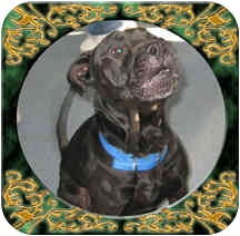 American Staffordshire Terrier Mix Dog for adoption in West Warwick, Rhode Island - Patrick