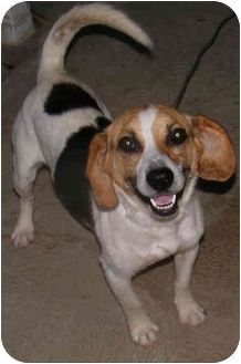 Beagle/Hound (Unknown Type) Mix Dog for adoption in Cincinnati, Ohio - Chance 2