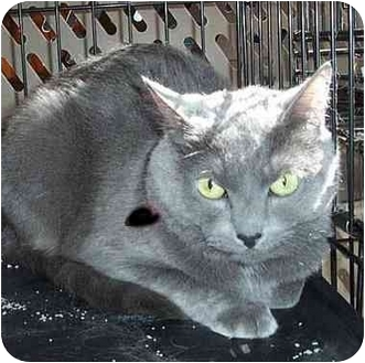 Russian Blue Cat for adoption in Randolph, New Jersey - Ace