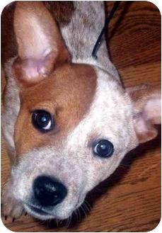 Australian Cattle Dog/Australian Cattle Dog Mix Puppy for adoption in Chapel Hill, North Carolina - Munchkin