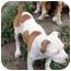 Photo 4 - American Bulldog/American Staffordshire Terrier Mix Puppy for adoption in Sacramento, California - Cameron