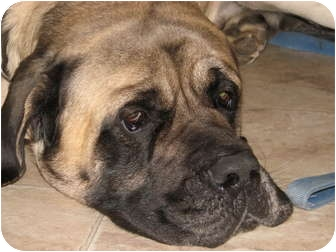 Mastiff Mix Dog for adoption in Cincinnati, Ohio - Moe