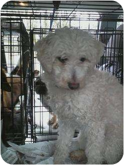 Coton de Tulear/Poodle (Toy or Tea Cup) Mix Dog for adoption in Oak Ridge, New Jersey - Unicorn
