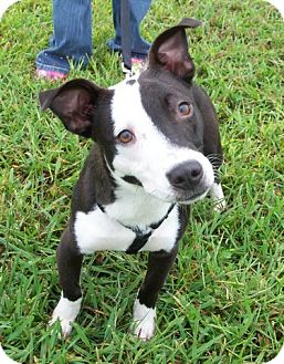 Boston Terrier/Labrador Retriever Mix Dog for adoption in Hagerstown, Maryland - Friday