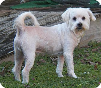 Maltese/Poodle (Standard) Mix Dog for adoption in Mary Esther, Florida - Sebastian