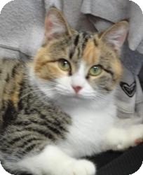 Domestic Shorthair Cat for adoption in Spruce Pine, North Carolina - Diana