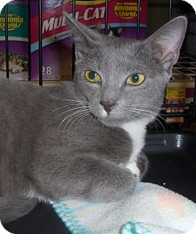 Domestic Shorthair Cat for adoption in Richmond, Virginia - Corky