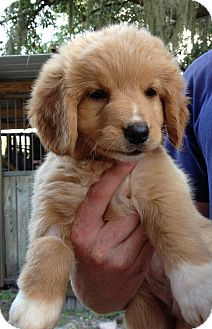 Australian Shepherd/Spaniel (Unknown Type) Mix Puppy for adoption in Gainesville, Florida - Holly