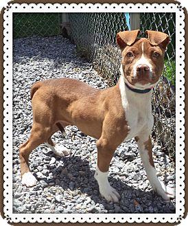 Pit Bull Terrier Mix Puppy for adoption in Marietta, Georgia - COOKIE