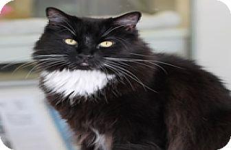 Domestic Longhair Cat for adoption in El Cajon, California - Sven