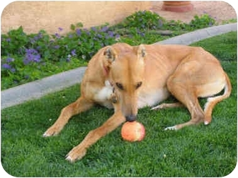 Greyhound Dog for adoption in Albuquerque, New Mexico - Billy