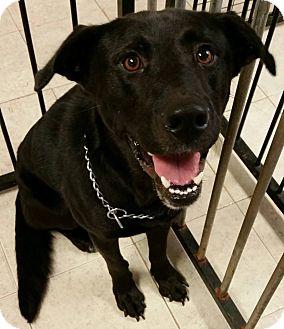 Labrador Retriever Mix Dog for adoption in Struthers, Ohio - Petro 1 YR OLD