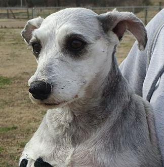 Schnauzer (Miniature) Dog for adoption in Allentown, Pennsylvania - Pepper