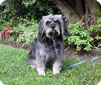 Tibetan Terrier/Schnauzer (Standard) Mix Dog for adoption in Newport Beach, California - MOBY