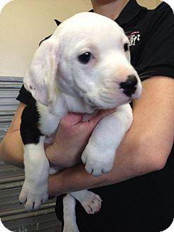 Rottweiler Puppy for adoption in Newburgh, Indiana - Rambo
