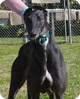 Greyhound Dog for adoption in Randleman, North Carolina - Vert