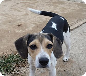 Beagle Mix Dog for adoption in Union City, Tennessee - Tinkerbell