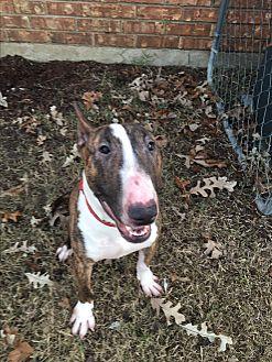Bull Terrier Dog for adoption in Dallas, Texas - Loki