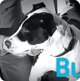 American Pit Bull Terrier Mix Dog for adoption in Red Bluff, California - Buddy