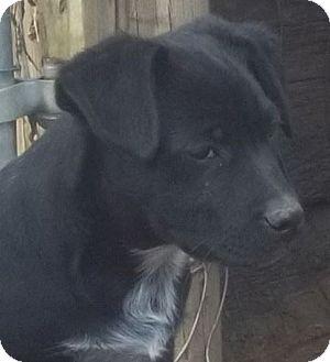 Bluetick Coonhound/Basset Hound Mix Dog for adoption in East Hartford, Connecticut - Little Lamb-pending adoption