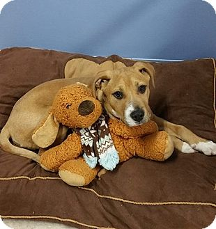 Labrador Retriever/Boxer Mix Puppy for adoption in Springfield, Vermont - Oscar