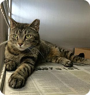 Domestic Shorthair Cat for adoption in East Brunswick, New Jersey - Carolina
