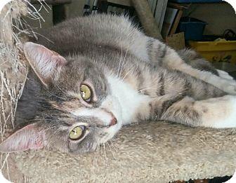 Calico Cat for adoption in Modesto, California - Jill
