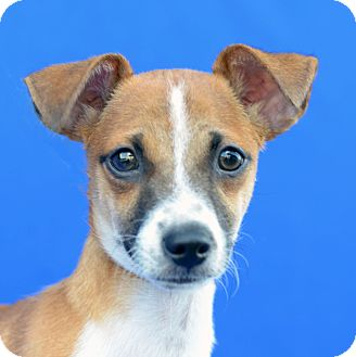 Terrier (Unknown Type, Small) Mix Puppy for adoption in LAFAYETTE, Louisiana - PIP