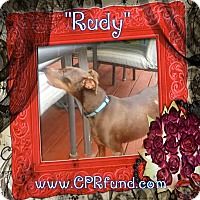 Miniature Pinscher Mix Dog for adoption in Lowell, Indiana - Rudy
