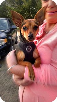Miniature Pinscher/Chihuahua Mix Dog for adoption in Greensboro, Maryland - Lucky Simon