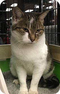 Domestic Shorthair Cat for adoption in Bear, Delaware - Ellie