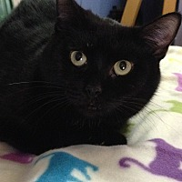 Domestic Shorthair Cat for adoption in Spring Valley, New York - Yvette