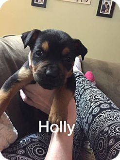 Rottweiler/Beagle Mix Puppy for adoption in Olive Branch, Mississippi - Holly-Santa's Helper
