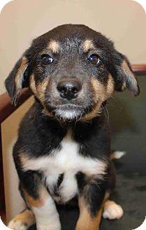 German Shepherd Dog Mix Puppy for adoption in Portland, Maine - Petra