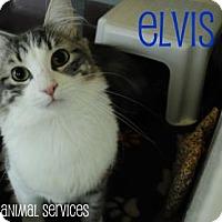 Adopt A Pet :: Elvis - Hamilton, ON
