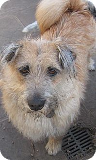 Lhasa Apso/Dandie Dinmont Terrier Mix Dog for adoption in Santa Fe, Texas - Aspen and Portland