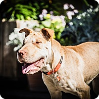 Adopt A Pet :: Melvin - Santa Rosa, CA