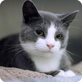 Domestic Shorthair Cat for adoption in Hilliard, Ohio - Louisa